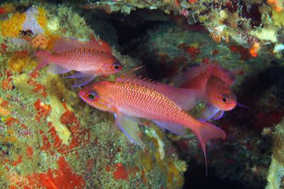 L'anthias