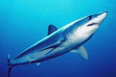 Le requin taupe