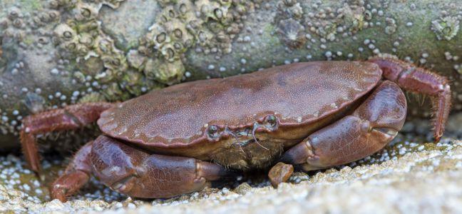 Cuisiner le tourteau technique de p che - Cuisiner le homard vivant ...