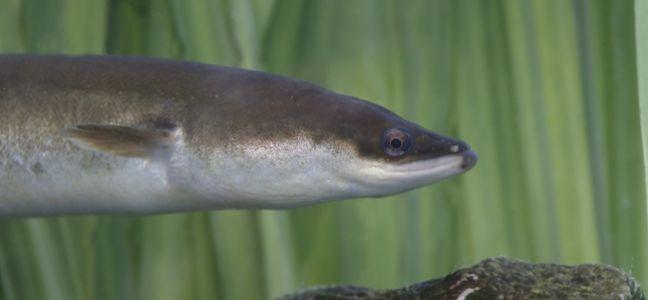L 39 anguille de rivi re technique de p che - Peche a peau lisse ...