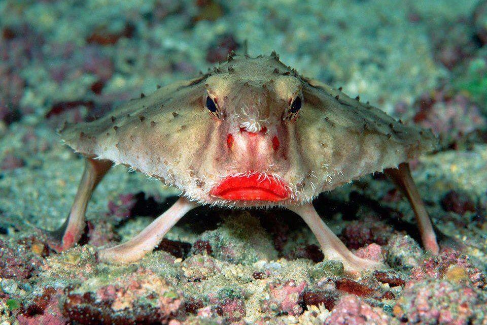 Le poisson chauve-souris - Technique de Pêche - ComptoirDesPêcheurs